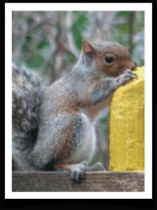 Squirrelog-Squirrel