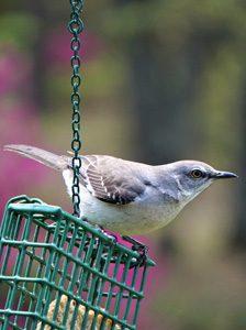 Wild Bird on Feeder